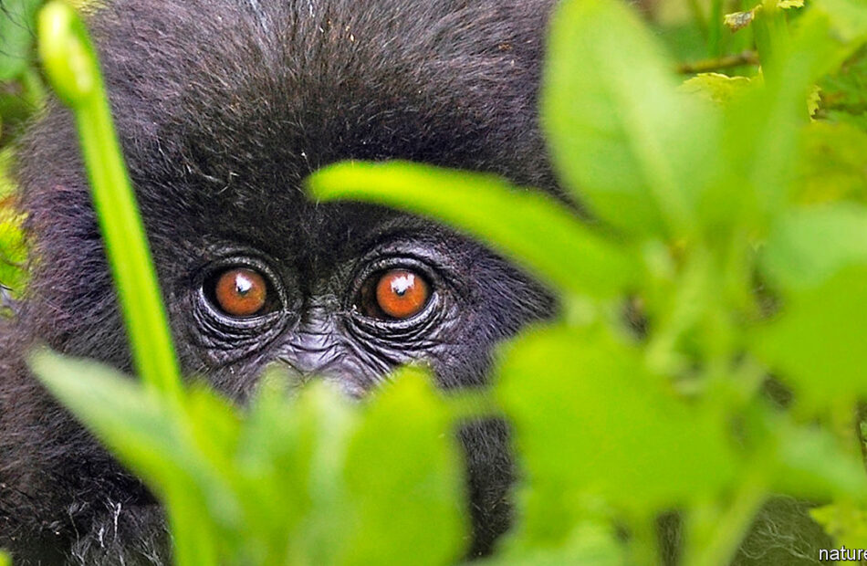 Protecting great apes from covid-19