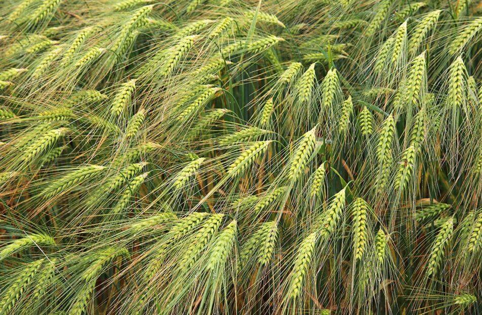 Wheat absorbs phosphorus from desert dust