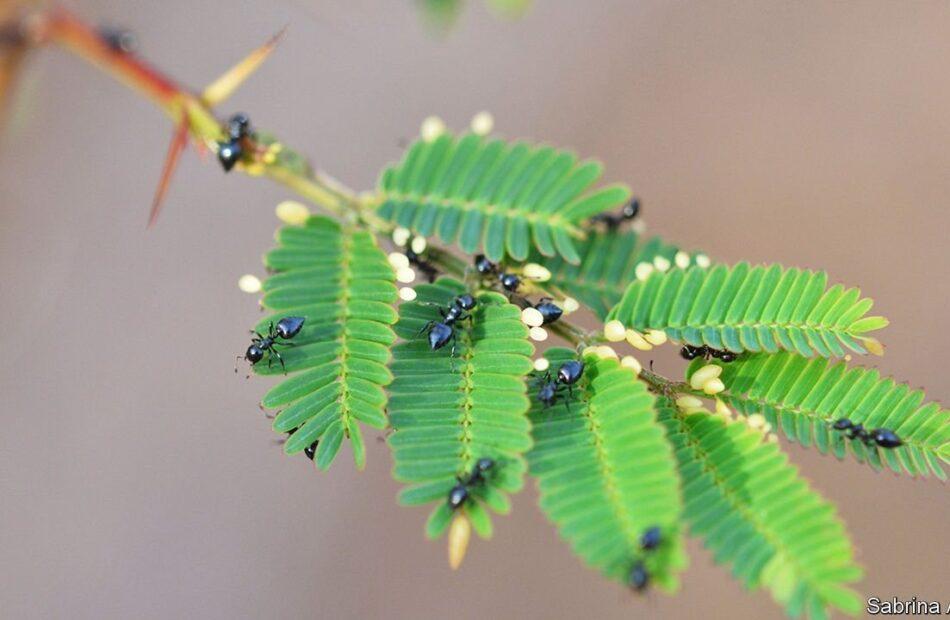 Ants, acacias and shameless bribery