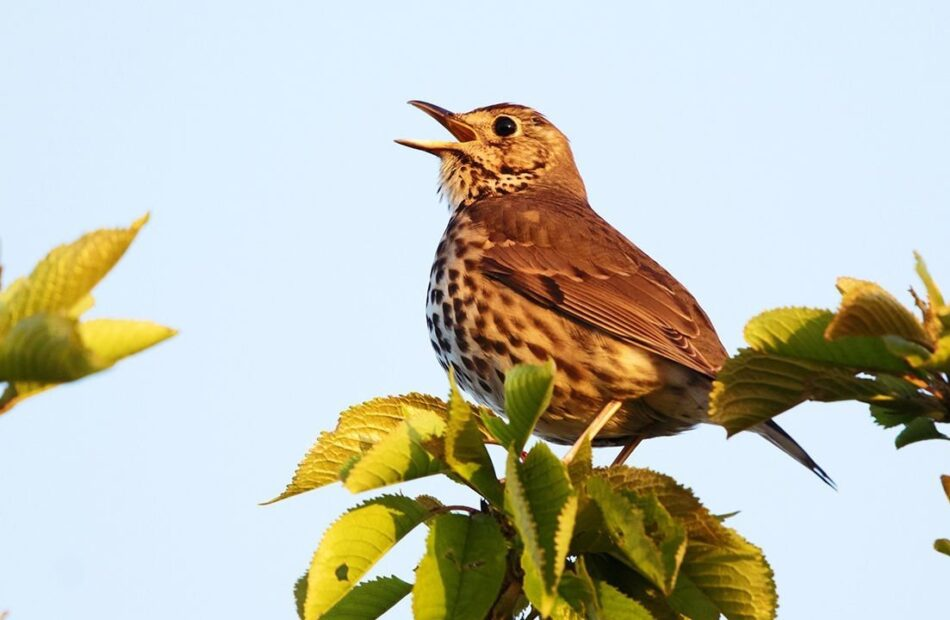 Songbirds can taste sugar. That may explain their ubiquity